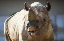 Královédvorského nosorožce trápil bolavý chrup: Isisovi trhali dvě stoličky
