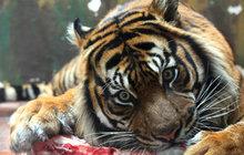Když tygr neví, jak na lásku