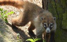 Zvířata v zoo chtěla na svobodu: Na nosály s podběráky!