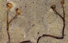 Unikátní nález Národního muzea: 432 milionů let stará rostlina!