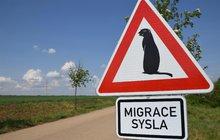 Netradiční dopravní značení může být pro řidiče překvapením: Pozor sysel!