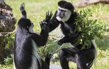 Děti přestanou zlobit, když dostanou něco dobrého. Platí to u lidí, stejně jako u gueréz pláštíkových z pražské zoo. Alespoň to tak vypadá podle fotky z opičího výběhu.