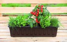 Pokud máte na parapetu málo místo, dají se do truhlíku nakombinovat bylinky zároveň i se zeleninou. I vměstských bytech si tak můžete vypěstovat třeba cherry rajčátka.Vzhledem ktomu, že vnádobě mají omezený prostor a živiny se rychle vyčerpají, je třeba rajčata, ale třeba i papriky pravidelně hnojit, abyste se dočkali zasloužené úrody.