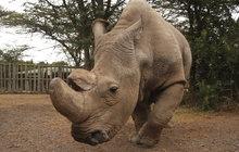 Samice nosorožce jižního Viktorie je v tom. A může to znamenat záchranu celého druhu, který takřka vyhubili pytláci! V zoo v americkém San Diegu se podařilo umělé oplodnění samice, která je blízkou příbuznou téměř vyhynulých nosorožců bílých severních.
