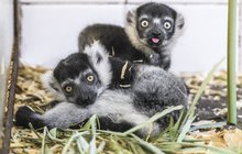 Zázrak v Zoo Praha: Vari bělopásí mají trojčata