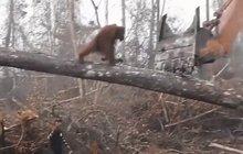 Orangutan vs. lesnický bagr: To je můj strom!