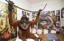 Oblíbený orangutan Ňuňák, zvířecí herec, je zase mezi lidmi. Setkat se s ním mohou návštěvníci ústeckého muzea, které získalo jeho kostru a vycpané tělo.