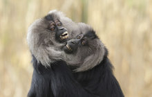 Radost u makaků lvích: Ségra, půjč mi mládě...