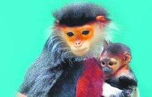 Narodilo se mládě vzácné opice: Kuk, já jsem langur duk!