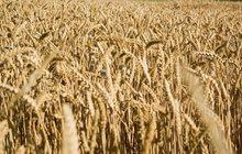 Tropické teploty a sucho snížily úrodu obilí: Zdraží chleba i pivo!