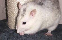 Ochránci zvířat: I potkan si zaslouží zachránit
