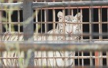 Zvěřinec člena klanu cirkusáků Berousků v hledáčku policie! Do zooparku v Bášti u Prahy vtrhli včera ráno policisté a celníci. Důvod? Podezření na nelegální vybíjení tygrů! Šelmy měly končit jako asijské pochoutky a léky.