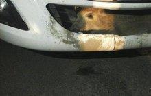 Na železničním přejezdu mezi Velkou Dobrou a Kladnem se řidiči (51) peugeotu zhouplo auto. Až po pěti kilometrech zjistil, že má v nárazníku napasované divoké prase.