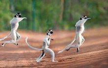 Když se lemuři do tance ponoří
