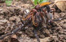 Souboj na život a na smrt tarantule se sršní: Zapíchnu tě, pavouku!