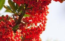Spousta rostlin, které začínají plodit na sklonku léta, pro nás může být užitečná, zvlášť, co se zdraví týče. Některé znich rostou téměř na každé mezi, jiné jen vzahradách, jedno ale mají společného. Jejich plody jsou ideální zásobárnou vitaminů a dalších prospěšných látek, navíc můžou obohatit i náš jídelníček. Jak snimi tedy naložit?