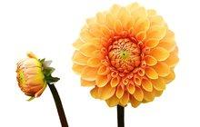 Půvabná aranžmá: Jiřiny do každé vázy!