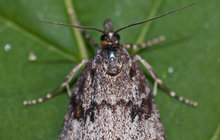Motýl šedovníček horský byl na Moravě považován za vyhynulého: 120 let ho nikdo neviděl!