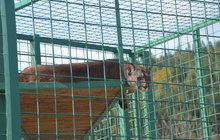 Drama v zooparku: Puma podrápala holčičku (3)