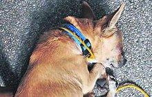 Čivava přežila množírnu a teď... Bloudila 14 dní v lese. Zhubla z pěti kilo na dva a půl