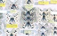 Jemnou krásu nejpočetnějšího živočišného druhu na zeměkouli mohli obdivovat v sobotu návštěvníci entomologického dne v Otrokovicích na Zlínsku. K vidění byly téměř všechny druhy motýlů a hmyzu