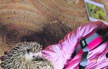 Není ježek jako ježek: Africký bodlináč zimu neprospí! A rád se mazlí!