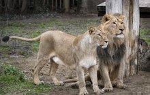 Umělé oplodnění lvice Ginny: Jednoho lva nechtěla, druhý byl neplodný!