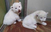 Vzácnost v hodonínské zoo: Narodila se lvíčata! Smetanová...