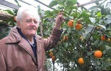 Citrusové plody už 35 let nekupuje Josef Boukal (85) z Hradce Králové. Má svoje vlastní a mnohem lepší. V jeho skleníku každoročně touto dobou zrají pomeranče, mandarinky i citrony, kterých do jara sklidí asi půl metráku.