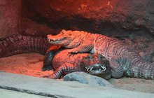 Zoo v Poznani rozlouskla 50letou záhadu! Náš krokodýl má příliš malý penis!