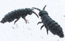 Pozor! Černá invaze: Na horách řádí sněžné blechy!