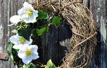 Jarní věnce - z břečťanem a čemeřicí....