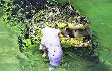 Rekordní snůška vzácných krokodýlů: Lady nakladla 27 vajec!