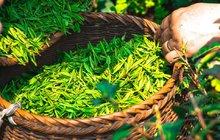 Krása z přírody: Zelený čaj