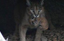 Samice karakala v Safari Parku Dvůr Králové Trojčata tahá jako koťata!...a také je něžně mazlí