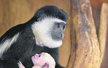 Guerézy v pražské zoo pečují o dva přírůstky: Táta nechová, jen hlídá