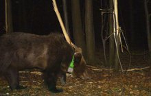 Medvědice ušla 130 kilometrů: Je to zabiják ovcí z Valašska!