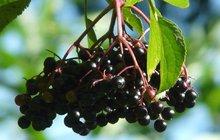Čas sběru jarních bylinek je tu! Co připravit z černého bezu...