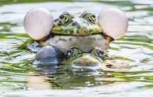Na žabáka v pražské zoo leze jaro: Nafukuje se před samičkou