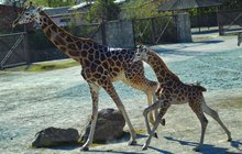 Souhra královédvorské žirafí mámy a dcery: Krok sun krok, levou přední skok