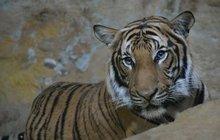 Tygříka Bulana (1,5)  naučí sex Indra (12)