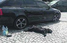 Tragédie na výstavě psů v Brně: V autě na slunci nechala péct dva retrívry! Jeden zemřel...