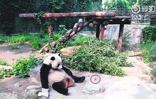 Turisté kamenovali pandu:  Vstávej, kůže líná!