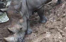Stupidita návštěvníků zoo nezná mezí: Vyškrábali jména do zad nosorožce!