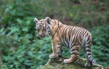 Tygří trojčata už dovádějí ve výběhu: Vyrosteme (až) 30krát!