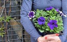 """Takovou letní krásu můžete mít na svých balkonech či terasách i vy! Ať už sáhnete po oblíbených letničkách, nebo budete experimentovat sméně tradičními rostlinkami, kouzlo pestrobarevných květů se dostaví vplné parádě! Martina Krumphanslová se pro pár rad pro jejich pěstování vydala do zahradnictví Cvrček vJílovišti nedaleko Prahy. Chtěla totiž pořádně prozkoumat všechny ty letní """"krásky"""", které byste si mohli zasadit do svých truhlíků. Aby to ovšem nebyla taková nuda, nejenom do nich!"""