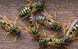 Na vosy si potrpí jen málokdo a rozhodně to nejsou oblíbení sousedé. Na jaře začínají se stavbou nových hnízd a opravou těch starých. Jak se jim bránit?