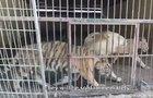 Kauza tajných jatek: Tygry natočili skrytou kamerou!