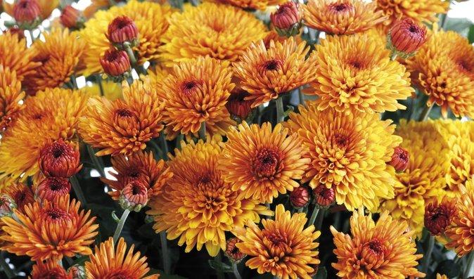 Chryzantémy mají krásně syté barvy, které rozzáří každý balkón