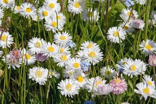 Sedmikráska je nejen krásná, ale je to i účinné homeopatikum. Kdy vám pomůže?